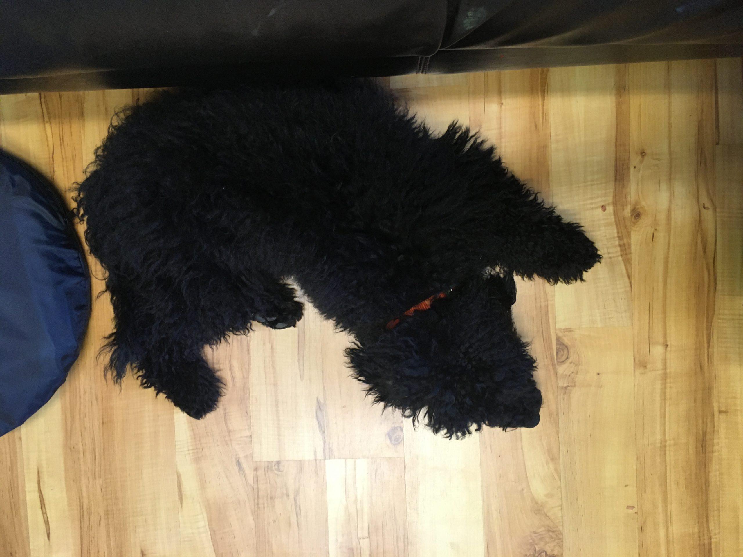 Auf einem Laminatfussboden liegt ein schwarzer Pudel mit einem orangenen Halsband.